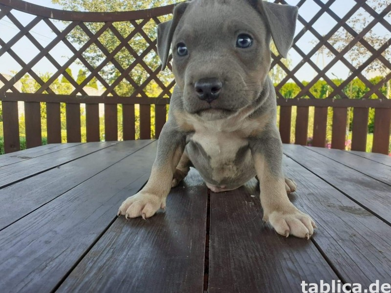 Suczki American Bully ABKC -tricolory 0